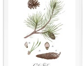 Conifer Study vol2- Holiday art - Beautifully textured scientific cotton canvas art print. Order as a 5x7 8x10 11x14 or 16x20 size.