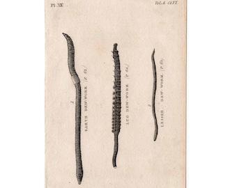 1812 DEW WORMS PRINT original antique sea life ocean engraving