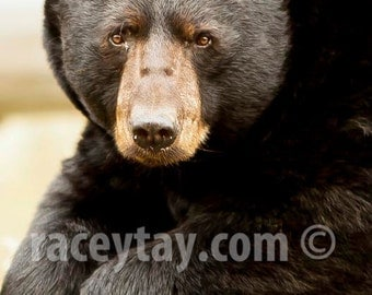 Black Bear, Rustic Wall Decor, Brown, Neutral, Art for Man Cave, Bear, Nature Photography