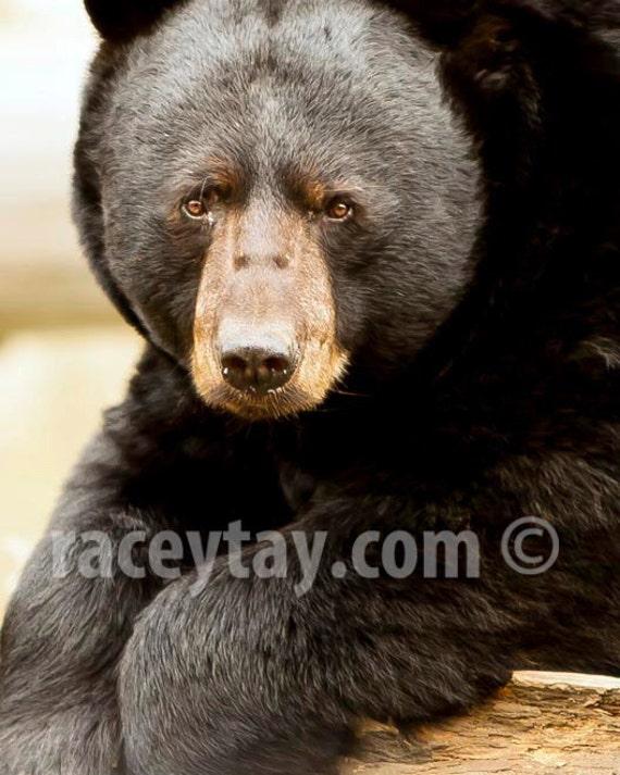 Black Bear, Rustic Cabin Decor, Nature Photography, Brown, Neutral, Art for Man Cave, Bear Print