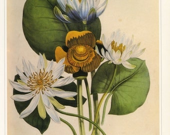 Jane Loudon Water Egyptian Lily Book Plate SALE~~Buy 3, get 1 free