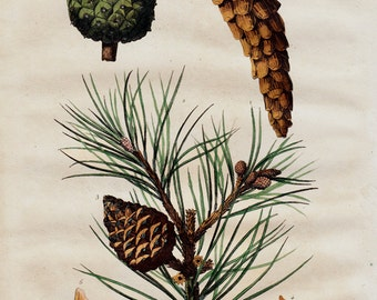 1838 Antique print of pine cone, pine cone tree study, botanilcal print, forest, woodland, original antique handcolored print 179 years old