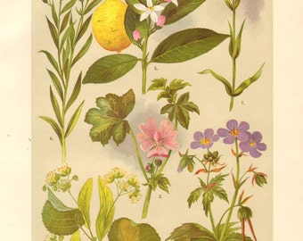 1911 Addersmeat, Linden, Common Mallow, Meadow Cranesbill, Rangpur, Flax Antique Chromolithograph to Frame