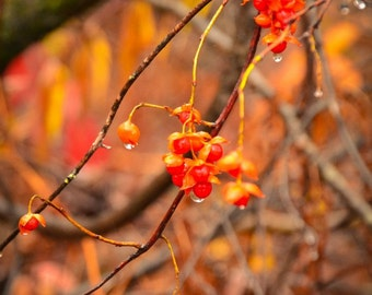 Autumn Photography Bittersweet Vine,gift idea,stunning rustic fall leaves,home decor,country charm,nature photography,orange,gold,bronze