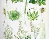 HERBS Vintage Botanical Print Antique, WORMWOOD MUGWORT plant print 71 botanical print, bookplate art print, herb plants plant wall print