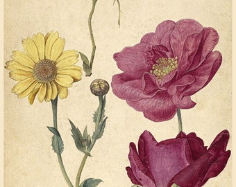 European Master Art Reproduction.  Study of French Roses and Oxeye Daisy, c. 1570. Fine Art Print.