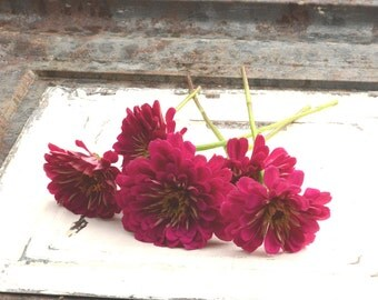 Purple Zinnia Seeds Benary's Giant Wine Zinnia Organic Zinnia Seeds Great Cut Flower Perfect For Market Gardens