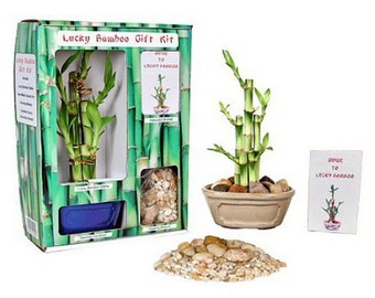 Lucky Bamboo Gift Kit - Complete with 5 Lucky Bamboo Stalks, Vase, Pebbles
