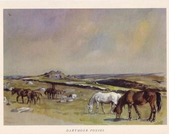 Dartmoor Pony Lionel Edwards vintage print equine British native breed horse illustration