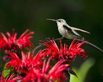 Bird Art, Hummingbird Photography, Wall Art, Photo Print, Hummingbird, Hummingbird with Flowers, Humming birds, Hummingbird Photo, Prints