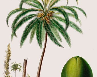 antique french botanical print coconut tree tropiclustration digital download