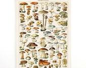 Botanical Mushroom Pull Down Chart Handmade Reproduction of vintage art. Variety of Mushrooms and Fungi Educational Diagram Millot. CP239cv