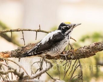 Woodpecker of the Western Forest 8x10 photo print