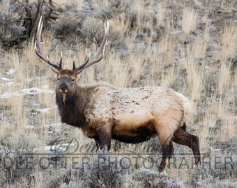 Late Winter Bull 8x10 photo print