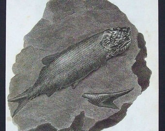Antique scientific illustration - Fossil Fish (Ichthyolite)