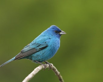 Indigo bunting, photo, print, photography, wall art, home decor, nature photography, free shipping