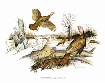 "A Large print of Wild Turkey painted by James Lockhart for the book Wild America. The Bookplate is 15"" wide and 12"" tall."