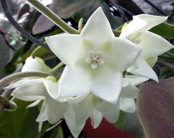 Hoya Australis Keysii CUTTING - Houseplant