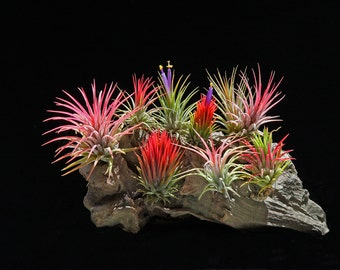 Air Plant Tillandsia | Ionantha Multi Package