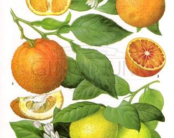 Vintage Citrus Print - Orange and Lemon print from the 1970s