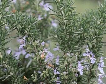 Creeping Rosemary - 1 Gallon