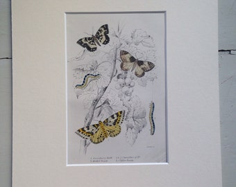 1860 GOOSEBERRY MOTH butterfly print, colour, original, vintage, entomology