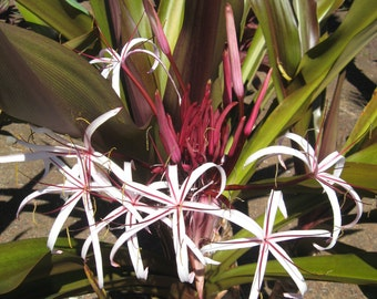 "Spider Lily Crinum x Amabile ""Purple Leaf"" - 1 potted plant, Comb Ship"