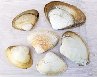 Large Clam Shells White Shells Clam Shells Large Shells Large White Shells New England Shells Beach Shells Ocean Shells Real Shells - 6
