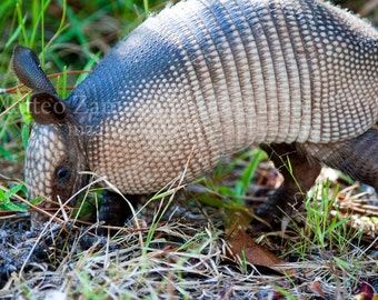 Burrowing Armadillo || PHYSICAL PRINT