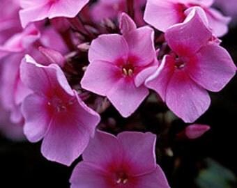 2 Eva Cullem - Garden Phlox Root/Plant