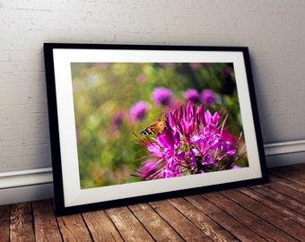cleome, butterfly, bokeh, thornton burgess society, garden, east sandwich, cape cod, massachusetts, new england, photography, fine art print