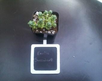 """2"""" Pot Rare Sedum Oaxacanum stonecrop Fairy Garden - Exotic Succulent Plant"""