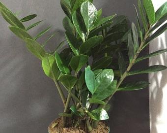 ZZ Plant - Zamioculcas zamiifolia - House Office Plant