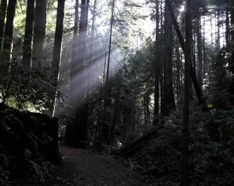 Sun rays through Redwood trees