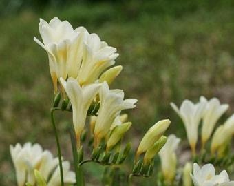Freesia Alba 10 Seeds, Freesia Picta, WildFlower Freesia Bulb Type Plants With Fragrance