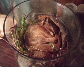 Taxidermy chipmunk sleeping