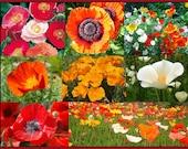450 California Poppy Seeds, Eschscholzia Californica, Flower Essence Plant, Wildflower,Mix California Poppy Seeds