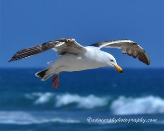 Seagull in Flight Bird Seagull Seabird Pacific Ocean Sea Zuma Beach California Malibu Photography Wall Art Wildlife FREE Domestic Shipping.