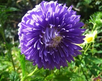 Duchess Dark Blue Aster Flower Seeds/Callistephus Tall Paeony/Annual  30+