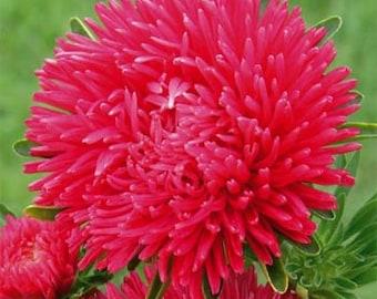 Duchess Scarlet Aster Flower Seeds/Callistephus Tall Paeony/Annual 30+