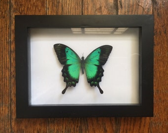 Framed Green Swallow Tail Butterfly
