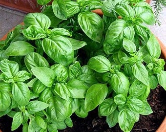 Sweet Basil Seeds - Homegrown Organic - Free Shipping