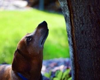 Weiner Dog / Animal Photography  Miniature Dachsund