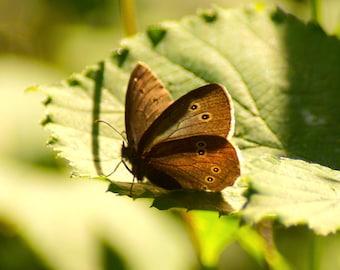 Basking Ringlet Butterfly