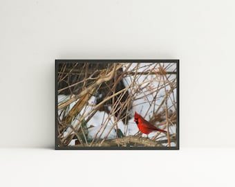 Bird Photography Print- Northern Cardinal, Bird Art Print, Bird Prints, Wildlife Art, Wildlife Prints, Bird Art, Cardinal Art, Nature Decor