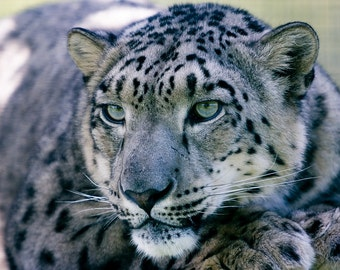 Snow Leopard Cross Stitch Kit