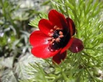 25+ Red Pheasant Eye Adonis / Perennial Flower Seeds