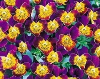 35+ Purple Heart Bi-Color Miniola Viola   Shade-Loving / Perennial Flower Seeds