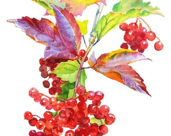 Red berries of viburnum on a transparent background