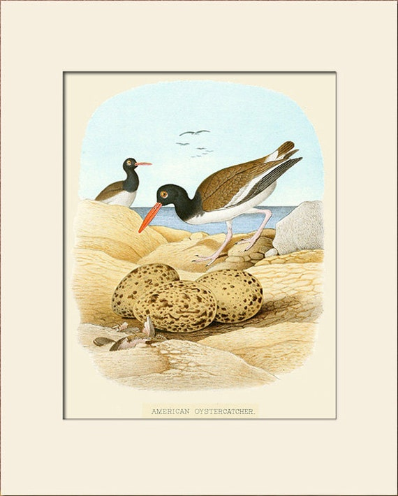 Bird Print, American Oystercatcher, Thomas Gentry, Art Print with Mat, Natural History Illustration, Wall Art, Beach Bird Wall Print